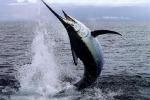 Da Omero ai giorni nostri: la pesca del pesce spada diventa rituale