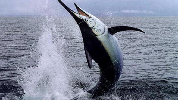 pesce spada, stretto di messina, Sicilia, Società