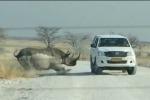 Paura al safari: rinoceronte si scaglia contro suv carico di turisti