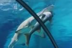 Squalo mangia un altro squalo: scene da brividi in un acquario