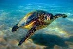 Caso raro in Sicilia: approda nel Siracusano la tartaruga verde