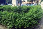 Palermo, all'aiuola di piazza Lolli serve una «spuntatina»: piante cresciute a dismisura