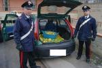 Sorpresi a rubare limoni nelle campagne di Partinico, tre arresti