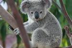 "Australia, 262 koala ""sfrattati"" da una miniera di carbone"