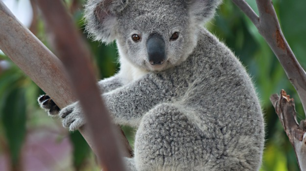 australia, habitat naturale, koala, miniera, Sicilia, Mondo