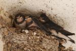 Riecco le rondini a Palermo, la Lipu: non distruggete i nidi