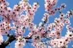 Valle dei Templi, il mandorlo è già in fiore