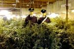 """Coltivava 316 piante di marijuana """"rubando"""" energia elettrica: arrestato 50enne"""