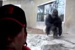 Selfie davanti alla sua gabbia, gorilla reagisce male: il video