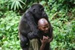 Dna, ricerca svela: gorilla e uomo più simili del previsto