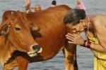 Vacche sacre in India, fanatico si suicida per tutelare il bovino