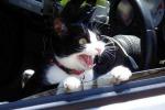 Il suo gatto cerca le coccole mentre lei guida, 24enne si schianta in auto
