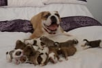 Fa nascere ben 14 cuccioli: parto da record per il bulldog Juma - Foto