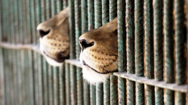 africa, circo, leoni, sudamerica, Sicilia, Mondo