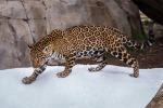 La neve arriva inaspettata: ecco la reazione di due giaguari - Video