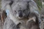 Koala vede per la prima volta la sua mamma: il video