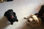 Cane guida diventa cieco come il suo padrone: li aiuta il labrador Spritz