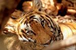 Aumentano le tigri selvatiche, è il primo caso dopo secoli - Foto