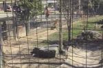 Salta dentro il recinto della tigre per riprendersi il cappello: il video