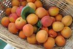 Maltempo, crolla la produzione di albicocche: raccolto in crisi anche in Sicilia