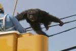"""Scimpanzè fugge da zoo e fa """"l'acrobata"""" tra i tralicci - Video"""