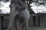 """Hanako, muore a Tokyo l'elefante più """"solo"""" al mondo - Video"""