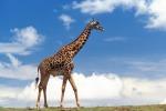 Mappa del Dna svela perché la giraffa ha il collo lungo
