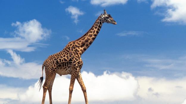 collo lungo, giraffa, Sicilia, Società