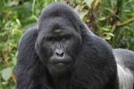 Usa, gorilla ucciso per salvare un bimbo caduto nel suo recinto