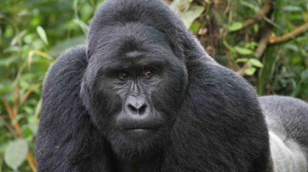 gorilla, zoo di Cincinnati, Sicilia, Mondo