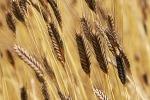 Da Agrigento a Catania, Mercato Campagna Amica dedicato al grano