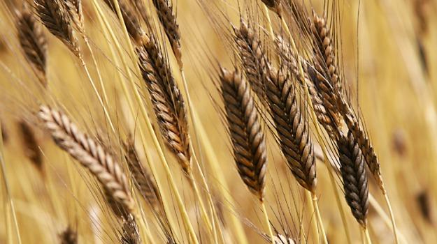 coldiretti sicilia, grano agrigento, grano siciliano, Sicilia, Economia