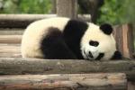 """Oltre 2 mila esemplari: """"Il panda non è più a rischio estinzione"""""""