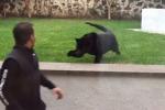 Sta per essere aggredito da una pantera ma la reazione di un uomo ha dell'incredibile: il video
