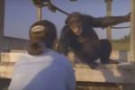 Rivede la donna che lo salvò 25 anni fa: ecco l'abbraccio di uno scimpanzè