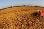 Via alla mietitura del grano nei campi sequestrati nel Trapanese