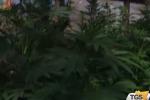 Coltivazione di canapa, un arresto nel Marsalese