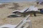Coccodrillo passeggia in spiaggia in mezzo ai turisti: il video
