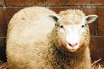 """La pecora Dolly continua a stupire: """"Non invecchia prima"""""""