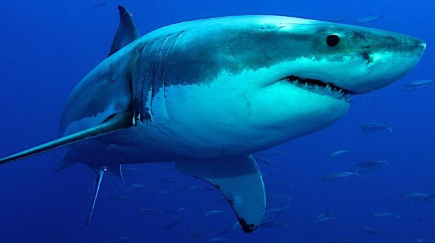squalo bianco, stretto di messina, Sicilia, Messina, Animali, Cronaca