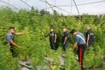 Licata, tremila piante di canapa dal valore di 2 milioni: un arresto