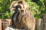 Arrivano anche in Italia i Gelada, le scimmie delle rocce