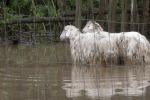Maltempo, rimangono intrappolate nel fango: morte 15 pecore a Palma di Montechiaro