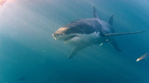 nursery, squali bianchi, Sicilia, Società