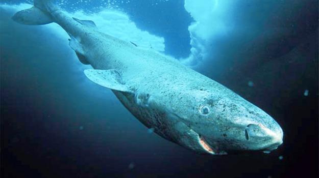 squali Groenlandia, Sicilia, Società