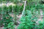 Scoperta maxi piantagione di canapa indiana a Licodia Eubea , quattro arresti