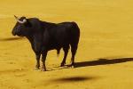 I tori di Pantelleria sono salvi, non saranno abbattuti