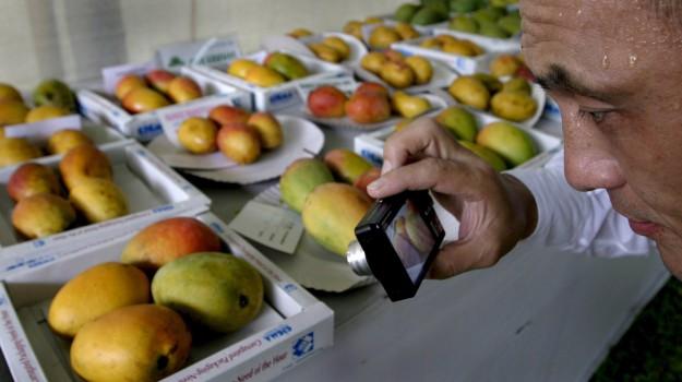 dieta grassa, Mango, Sicilia, Salute, Società