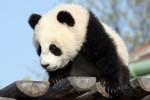 Panda in aumento: non è più a rischio estinzione