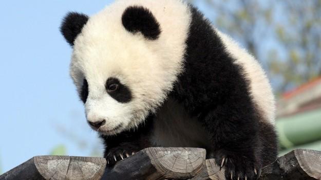 estinzione, panda, Sicilia, Vita
